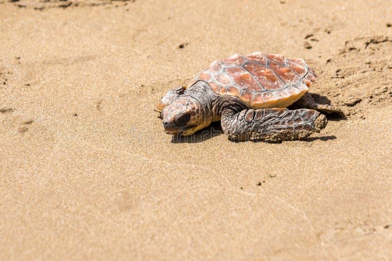 Schildkr?ten-Baby auf Strand lizenzfreie stockbilder