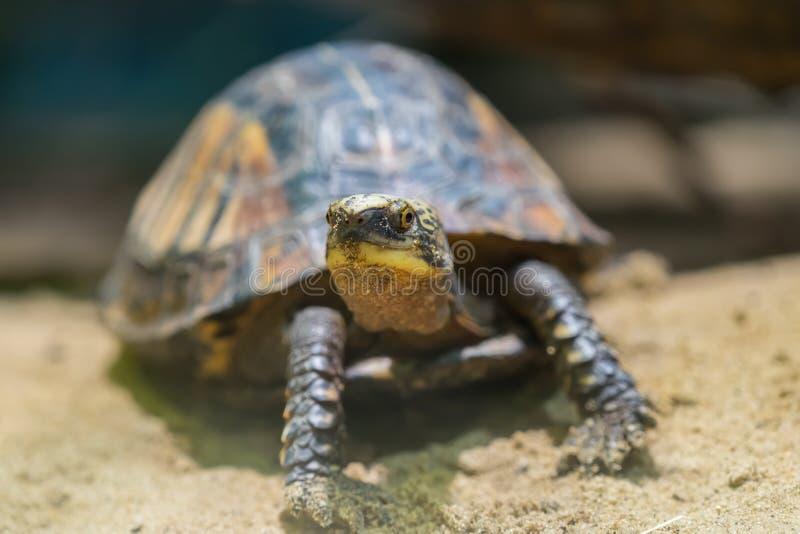 schildkroete Sehr Weichzeichnung Schildkröte auf sandigem Boden stockfotografie