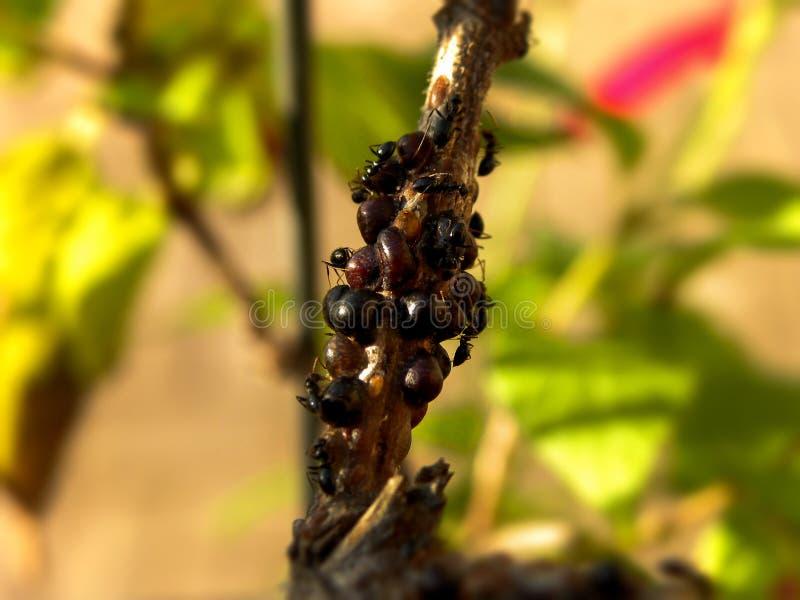 Schildläuse und Ameisen stockbilder