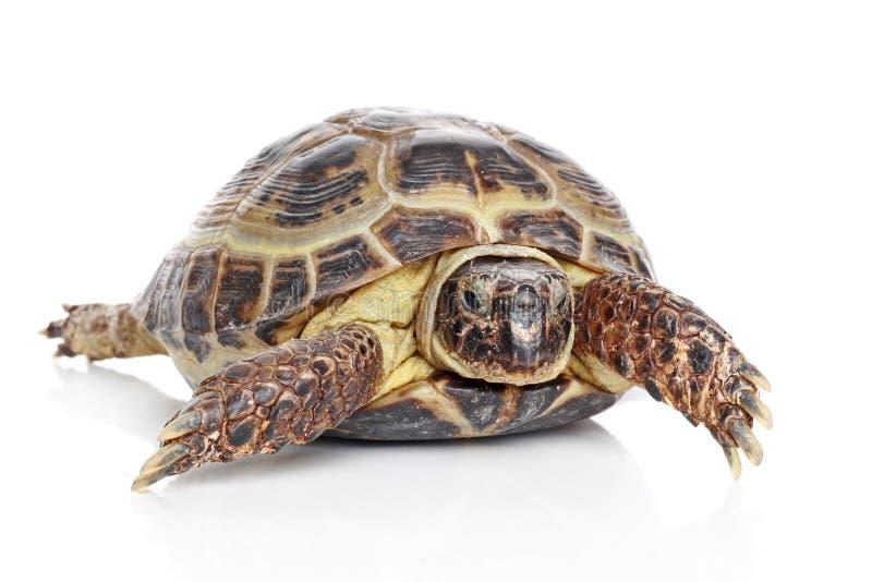 Schildpad stock afbeelding