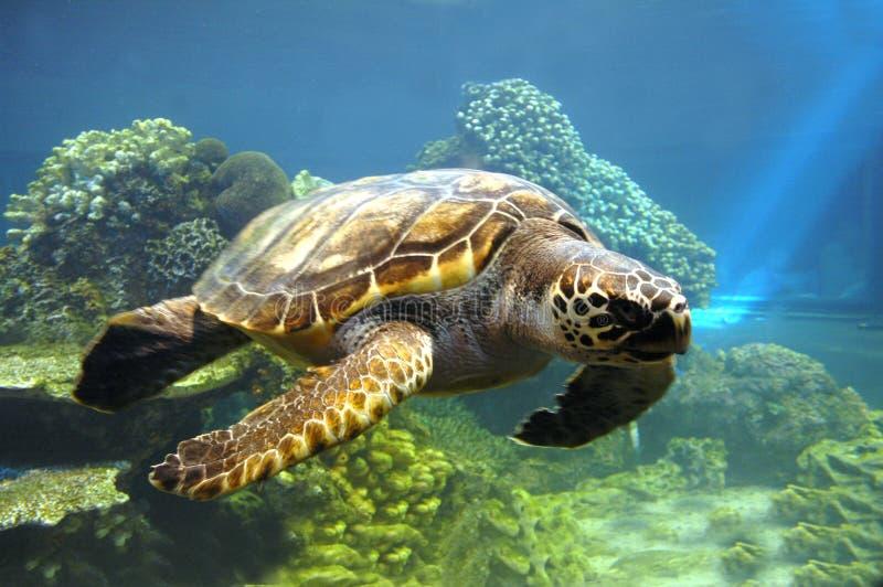 Schildpad. stock afbeelding