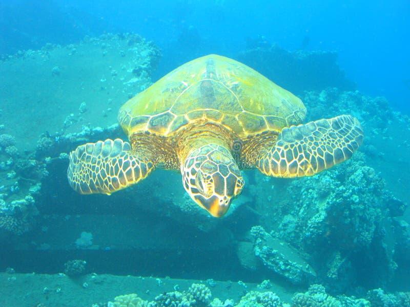 Download Schildpad stock afbeelding. Afbeelding bestaande uit marine - 292269