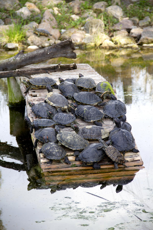 Download Schildpad stock afbeelding. Afbeelding bestaande uit aquatisch - 29503711