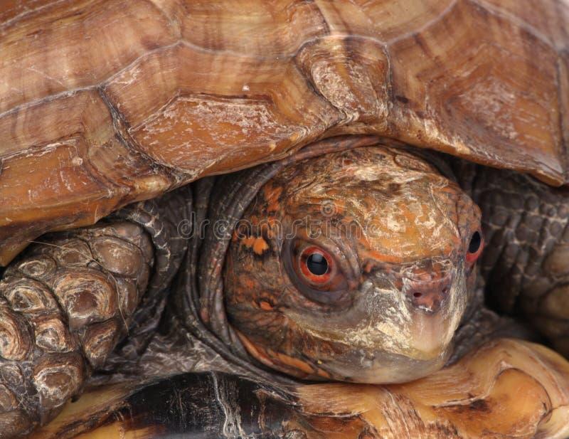 Schildpad stock afbeeldingen