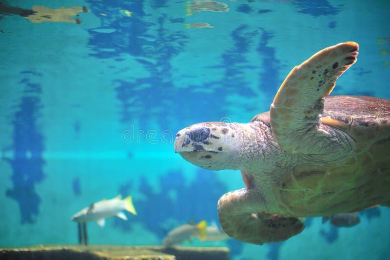Schildpad in aquarium. stock foto's