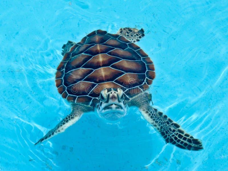 Schildpad bij het Largo Landbouwbedrijf van de Schildpad Cayo in Cuba stock fotografie