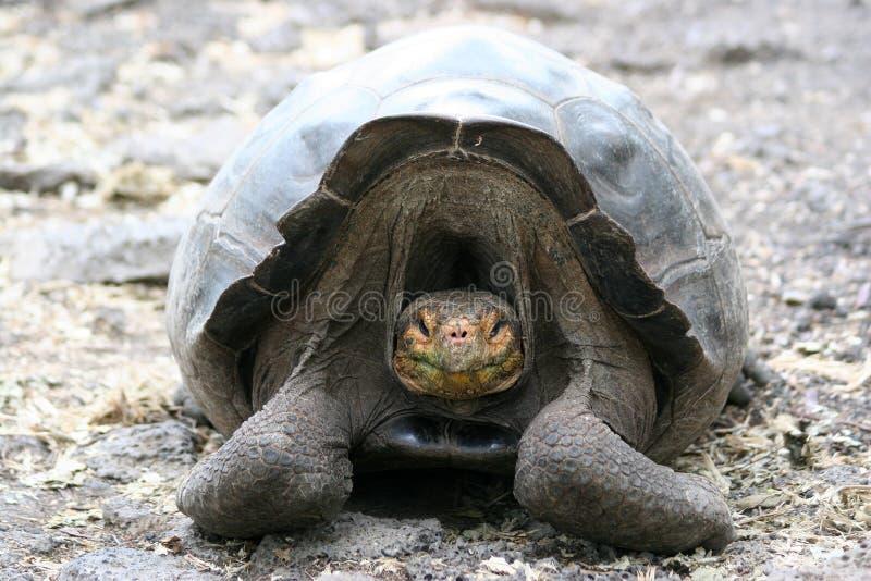Schildpad, de Galapagos stock foto's