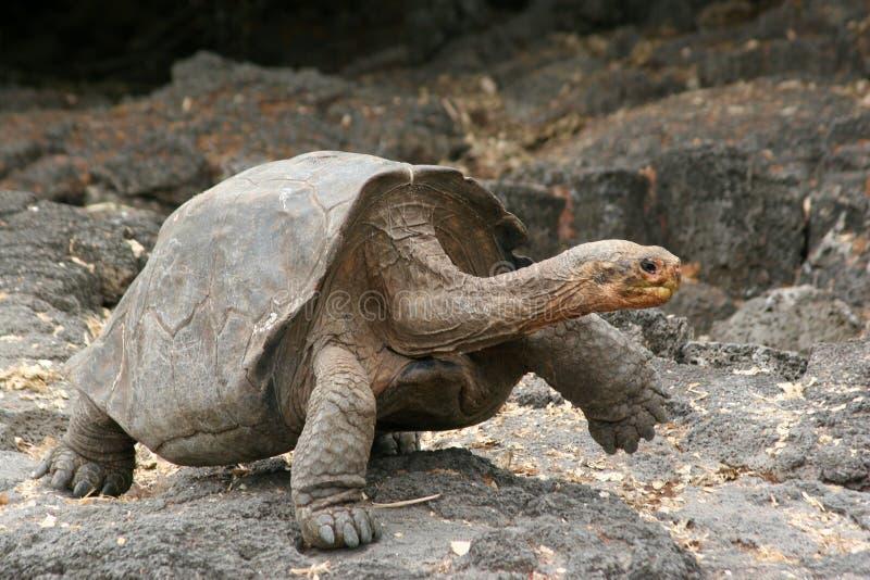 Schildpad, de Galapagos royalty-vrije stock afbeeldingen