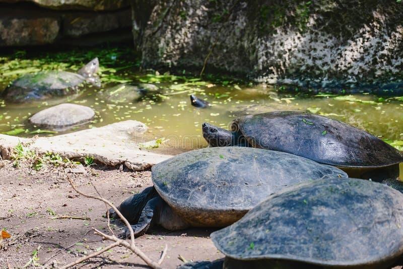 Schildpad in de vijver stock afbeelding