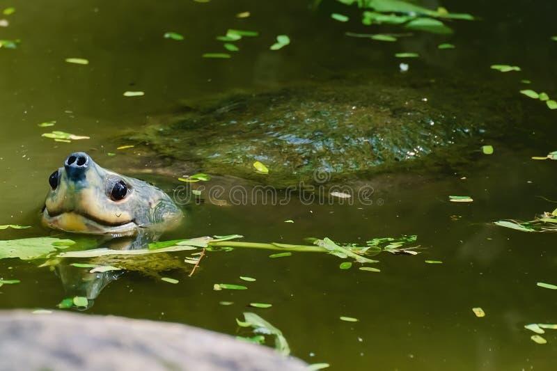 Schildpad in de vijver stock fotografie