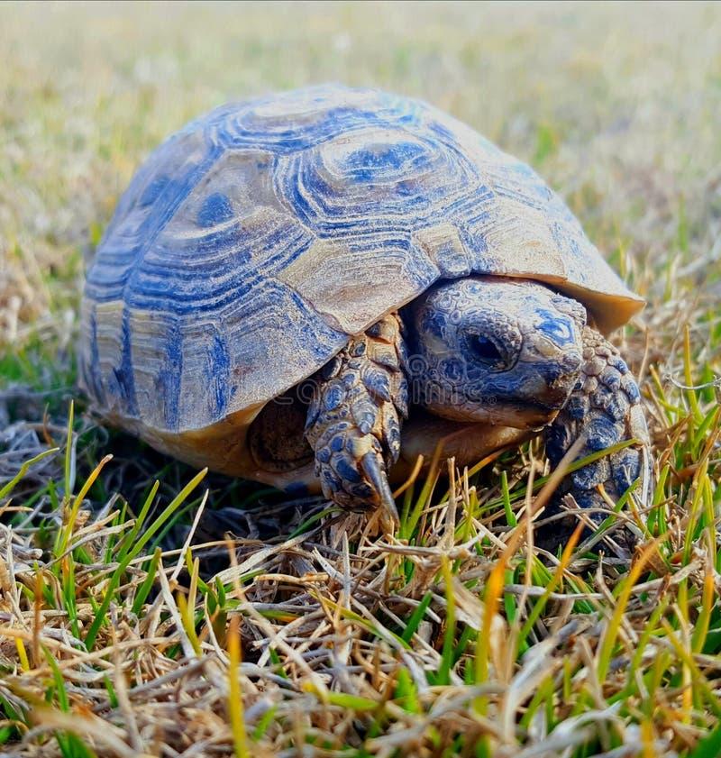 Schildpad in de wildernis stock foto