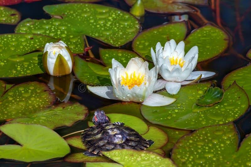 Schildpad dichtbij de bloeiende stroomversnellinglelies stock foto's