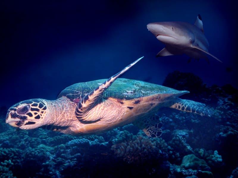Schildpad die aan Haai ontsnapt royalty-vrije stock foto's