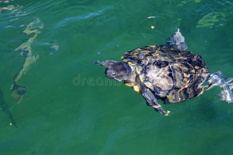 Schildpad die aan oppervlakte zwemmen stock foto