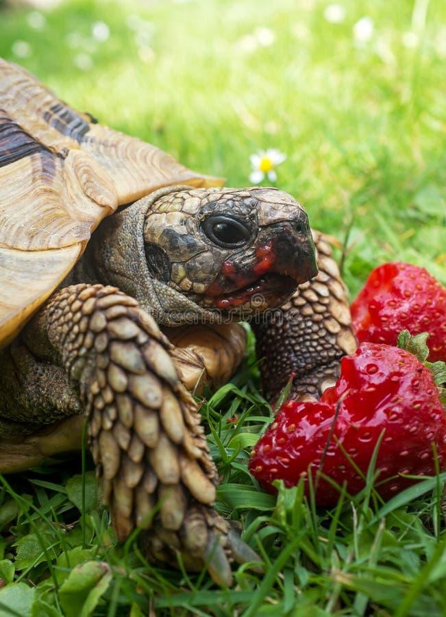 Schildpad die aardbeien eten royalty-vrije stock foto's