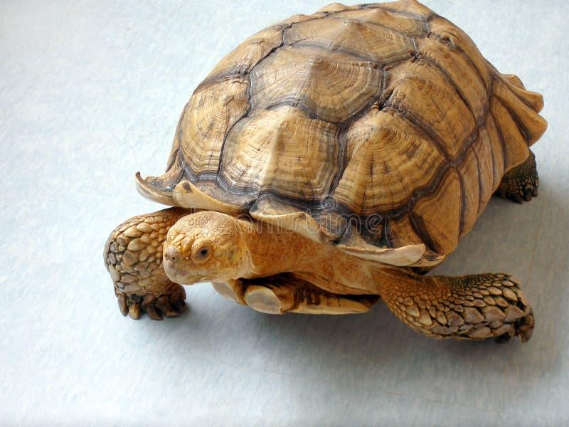 Schildpad die een ontsnapping maakt royalty-vrije stock foto