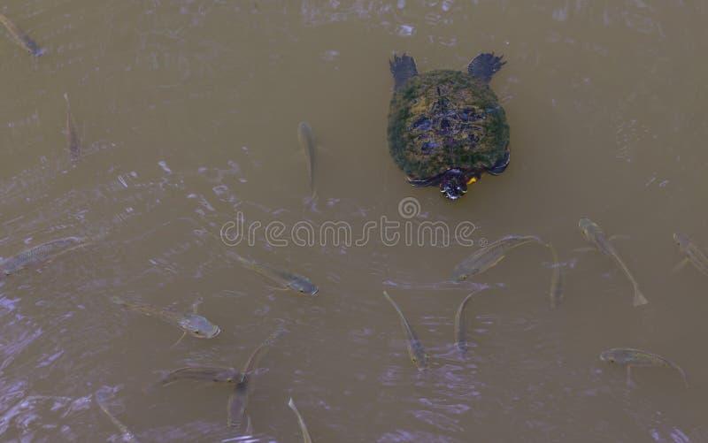 Schildpad die in een vijver met vissen zwemmen royalty-vrije stock afbeelding