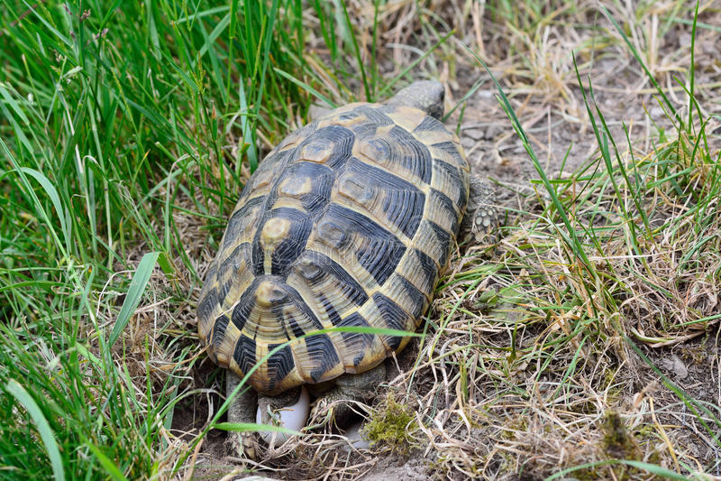 Schildpad die eieren leggen royalty-vrije stock fotografie