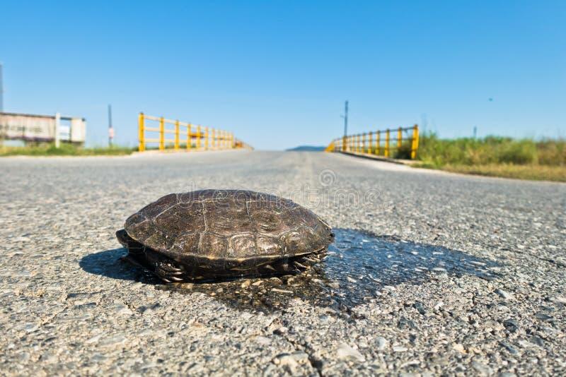 Schildpad die gevaarlijk de weg voor een kleine gele brug, Sithonia kruisen royalty-vrije stock afbeelding