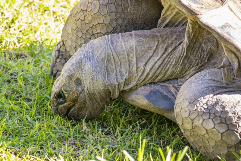 Schildpad die gras eten bij de dierentuin royalty-vrije stock foto's