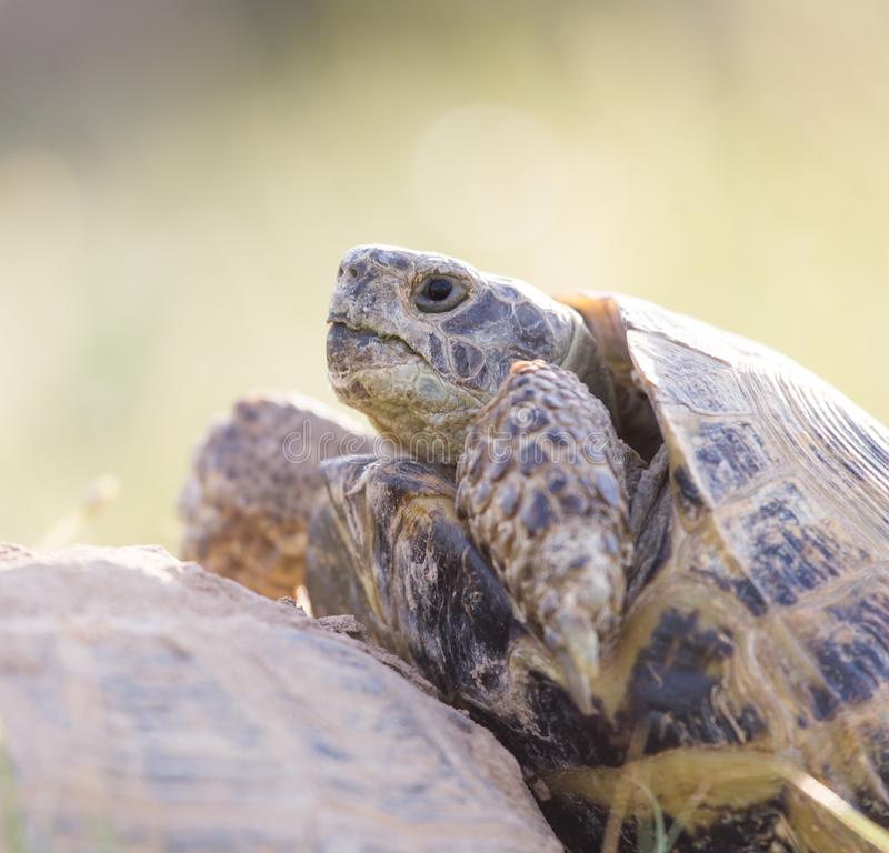 Schildpad die liefde maken royalty-vrije stock afbeelding