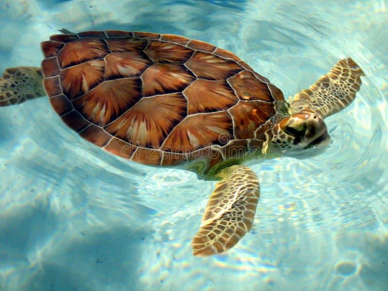 Schildpad die omhoog voor Lucht komt stock afbeeldingen