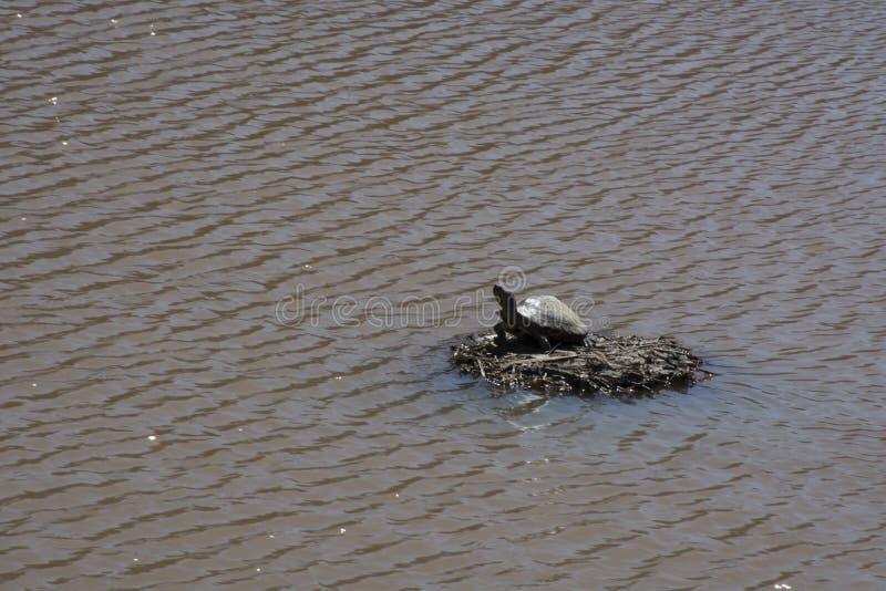 Schildpad die op een eiland van takjes zonnen stock foto