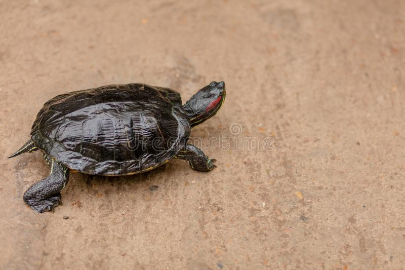 Schildpad die ter plaatse lopen royalty-vrije stock foto's
