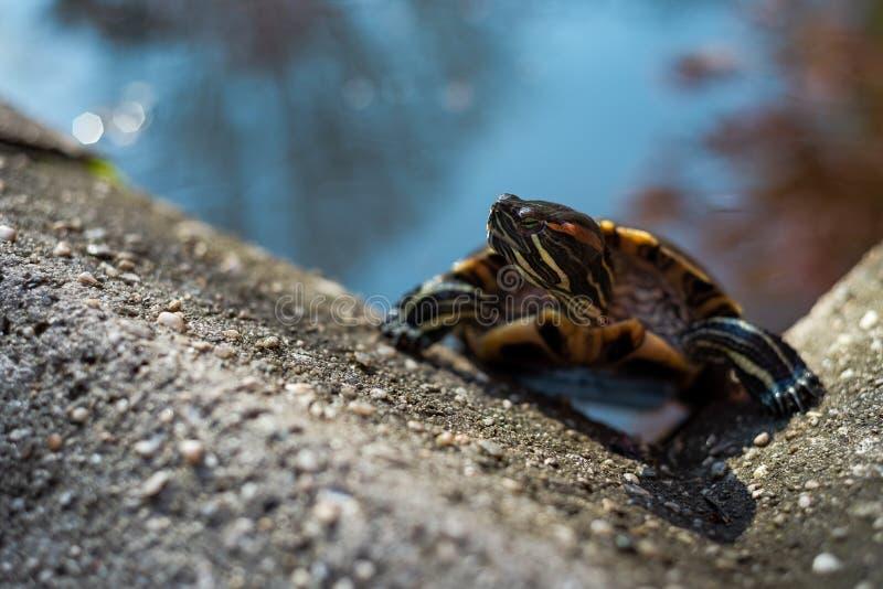 schildpad die uit een kunstmatige vijver beklimmen royalty-vrije stock foto