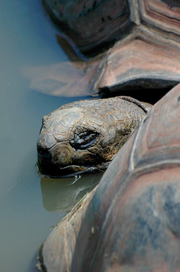 Schildpad die uit water gluurt stock foto's