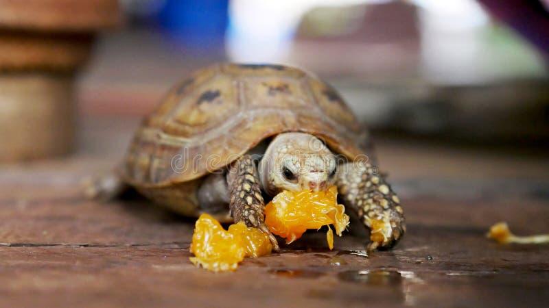 Schildpad die voedsel zelf eet royalty-vrije stock foto's