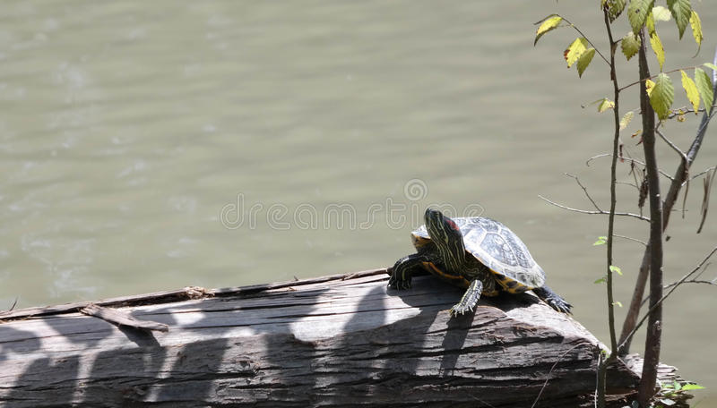 Schildpad die zonnen stock afbeelding