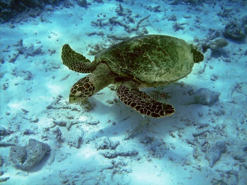 Schildpad en koraalrif stock foto's