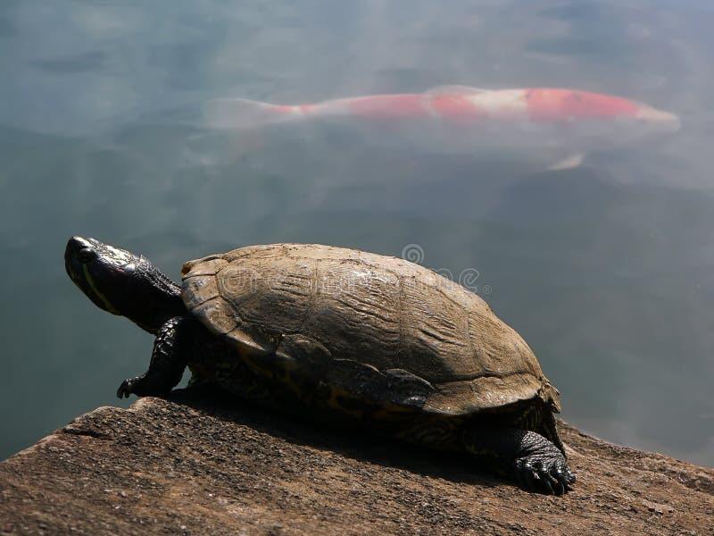 Schildpad en rode vissen stock fotografie