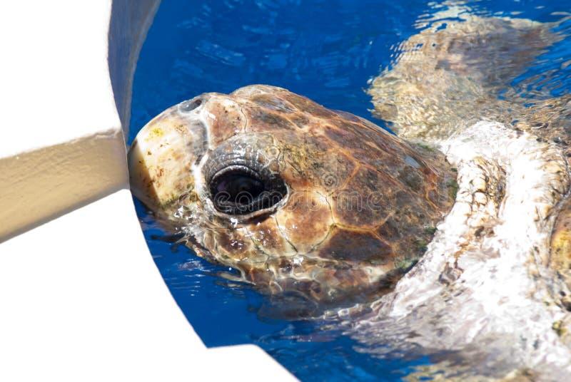 Schildpad in Gevangenschap stock afbeeldingen