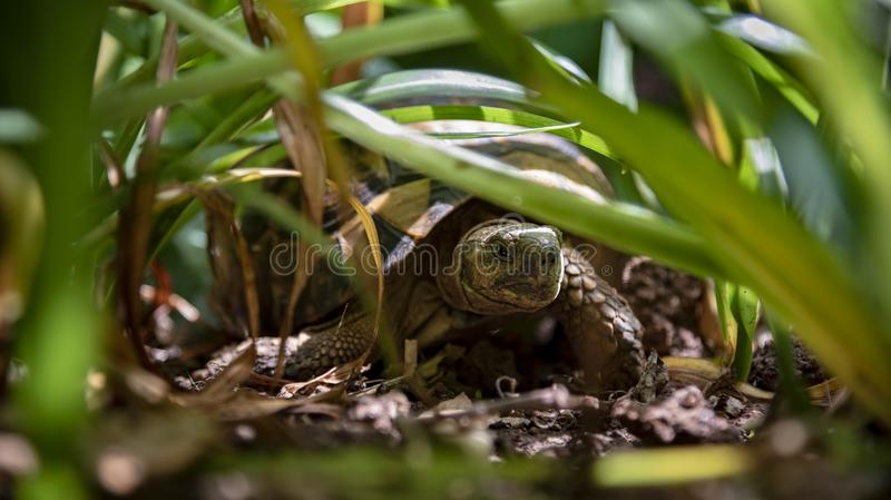 Schildpad in gras royalty-vrije stock foto's