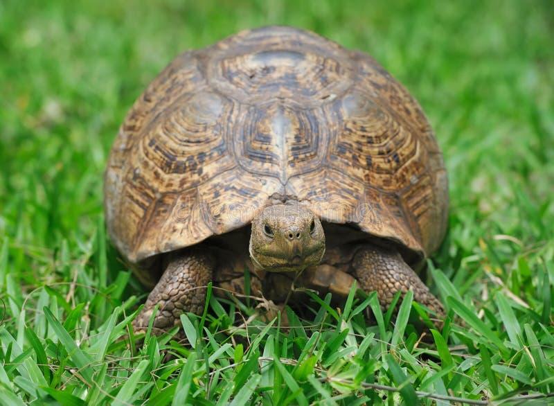 Schildpad in gras stock afbeelding
