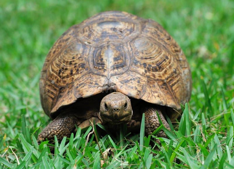 Schildpad in gras stock foto's