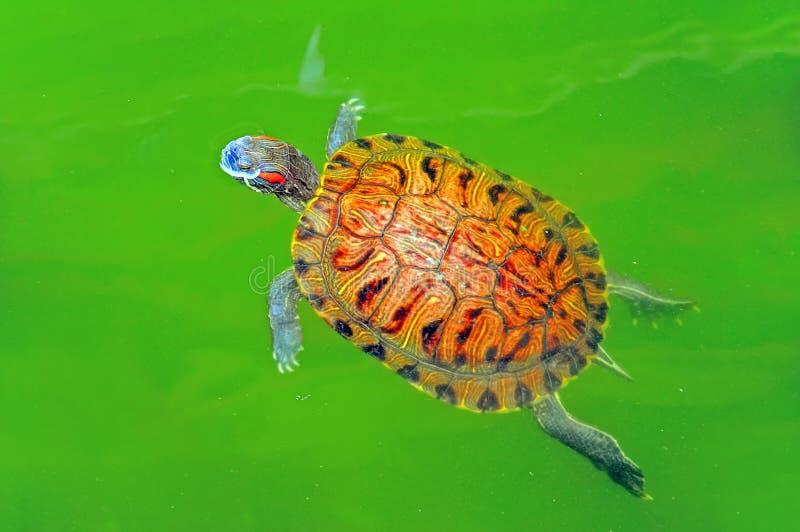 Schildpad in groene vijver royalty-vrije stock afbeelding