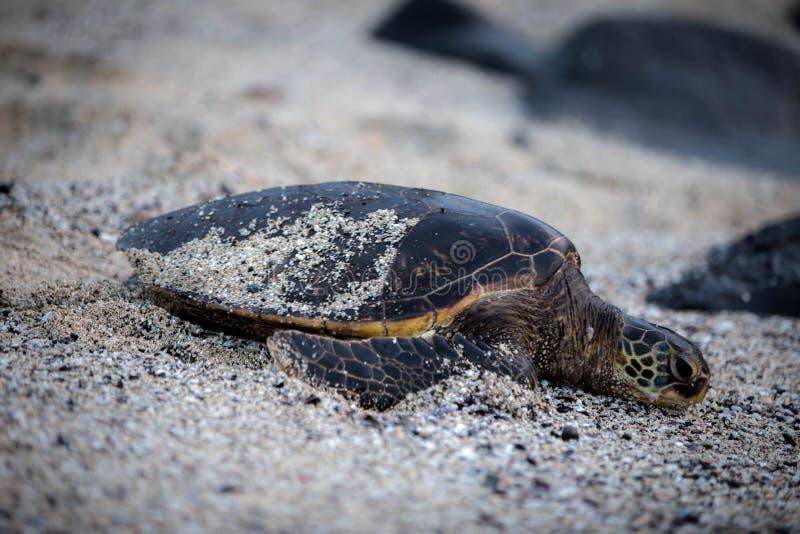 Schildpad in Hawaï stock afbeeldingen