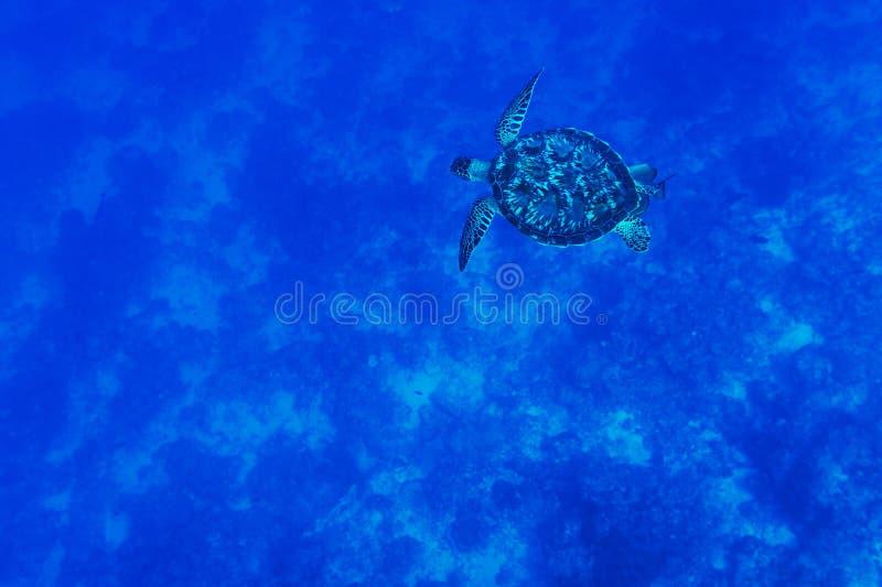 Schildpad in het blauwe overzees stock afbeelding