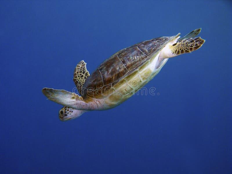 Schildpad in het duiken royalty-vrije stock foto's