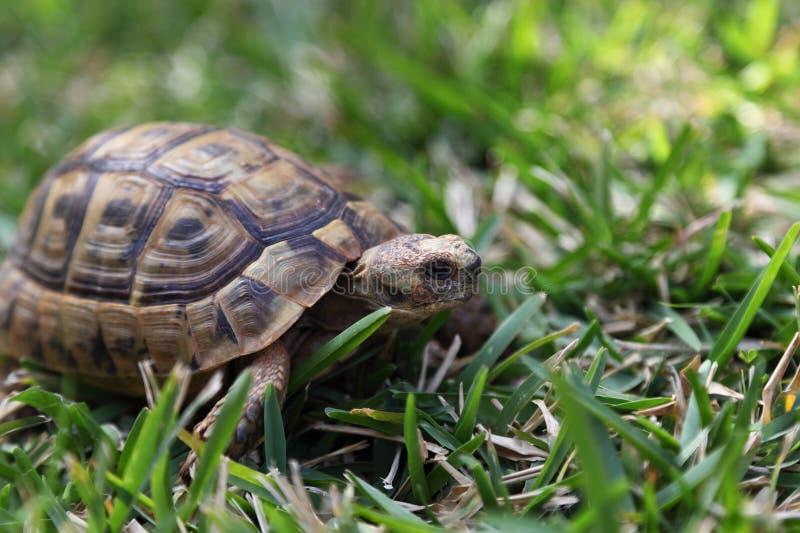 Schildpad in het Gras royalty-vrije stock foto