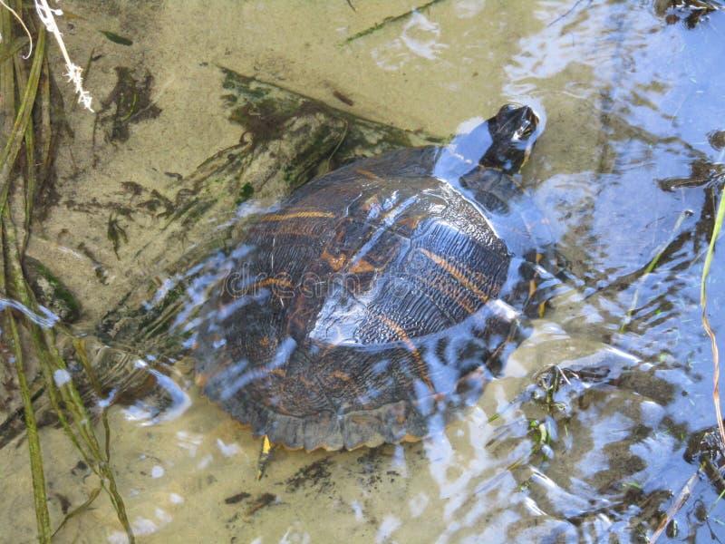 Schildpad het ontspannen in een stroom van water royalty-vrije stock afbeeldingen