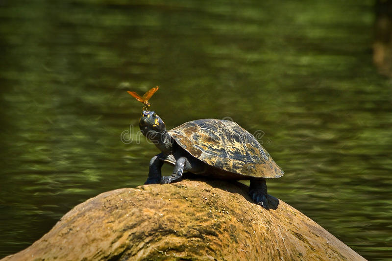 Schildpad in het regenwoud van Amazonië, het Nationale Park van Yasuni stock foto