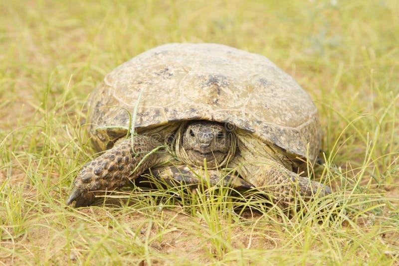 Schildpad in het woestijnzand royalty-vrije stock afbeeldingen