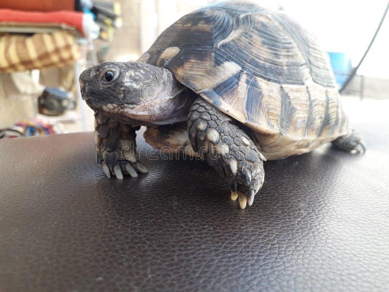Schildpad levend in mijn tuin royalty-vrije stock afbeeldingen