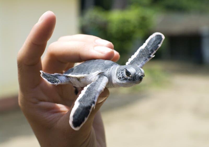 Schildpad in mensenhand. royalty-vrije stock afbeelding