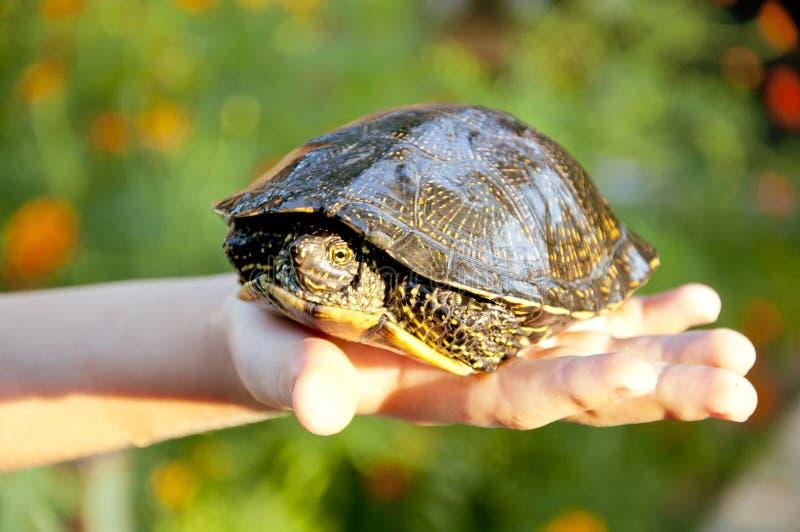 Schildpad op child& x27; s hand stock fotografie