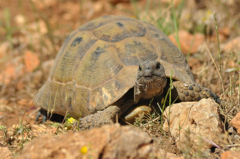 Schildpad op de rotsachtige en zandige woestijn Gad het Doorweken stock afbeelding